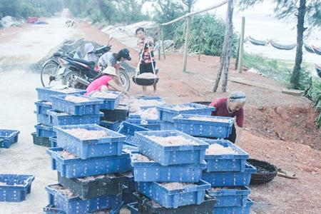 Ngư dân Vĩnh Thái được mùa ruốc biển