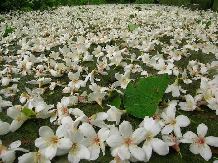 Hoa trẩu tinh khôi nở trắng trời Hướng Hóa